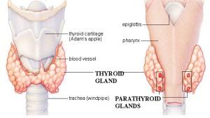 parathyroid-glands