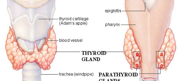 parathyroid-glands