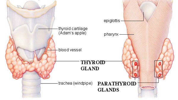 Parathyroid Glands: A Brief Overview